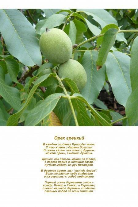 Роза - один из символов болгарии. - страна мам