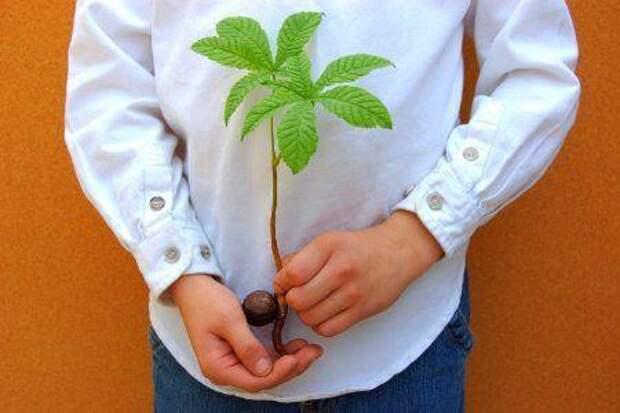 Посадка каштана из ореха осенью. описание дерева | дачная жизнь