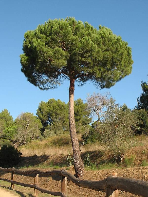 Растение сосна: фото, виды, выращивание, посадка и уход в открытом грунте