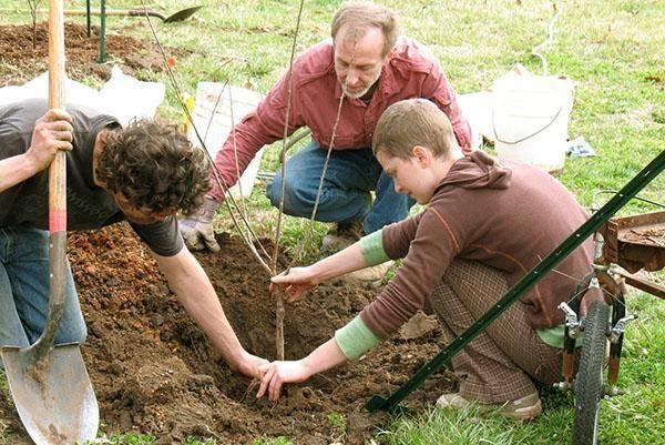 Когда пересаживать грецкий орех на постоянное место, в каком возрасте лучше, можно ли осенью, как правильно готовить новый участок для пересадки взрослого деревца?