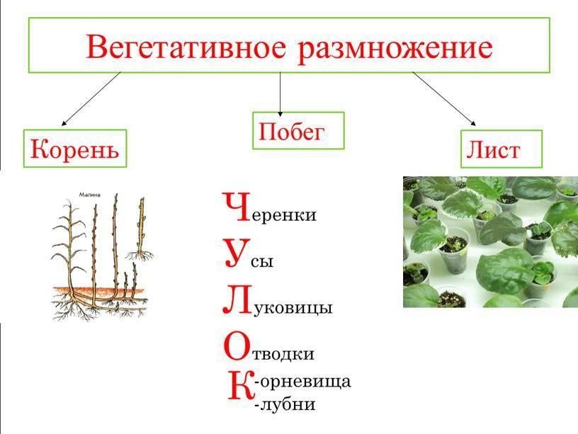 Вегетативное ⚠️ размножение: это, как происходит, способы, характеристика