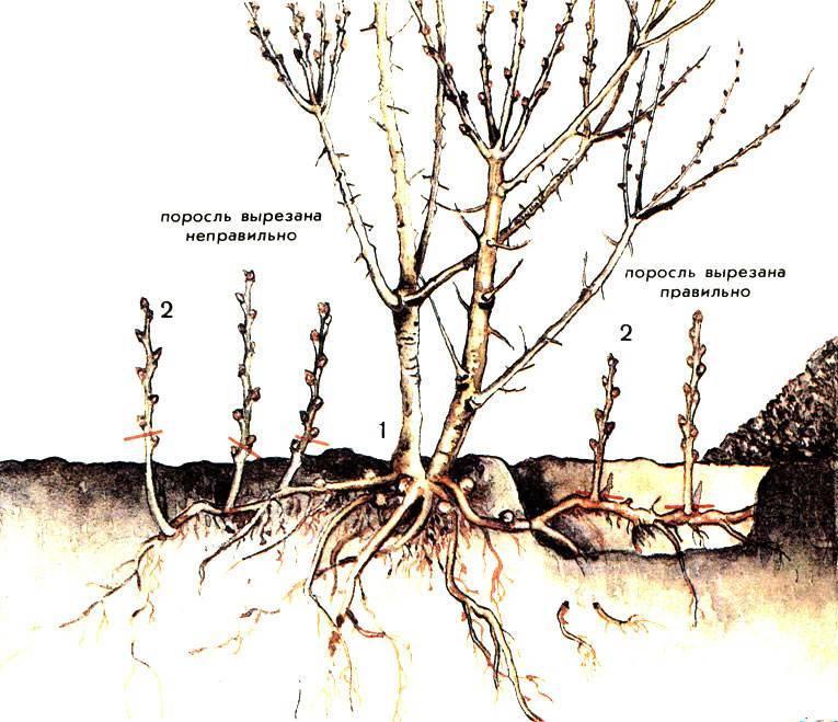 Лещина – посадка и уход за фундуком