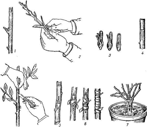 Как размножить яблоню: черенками без прививки, воздушными отводками, укоренить ветки