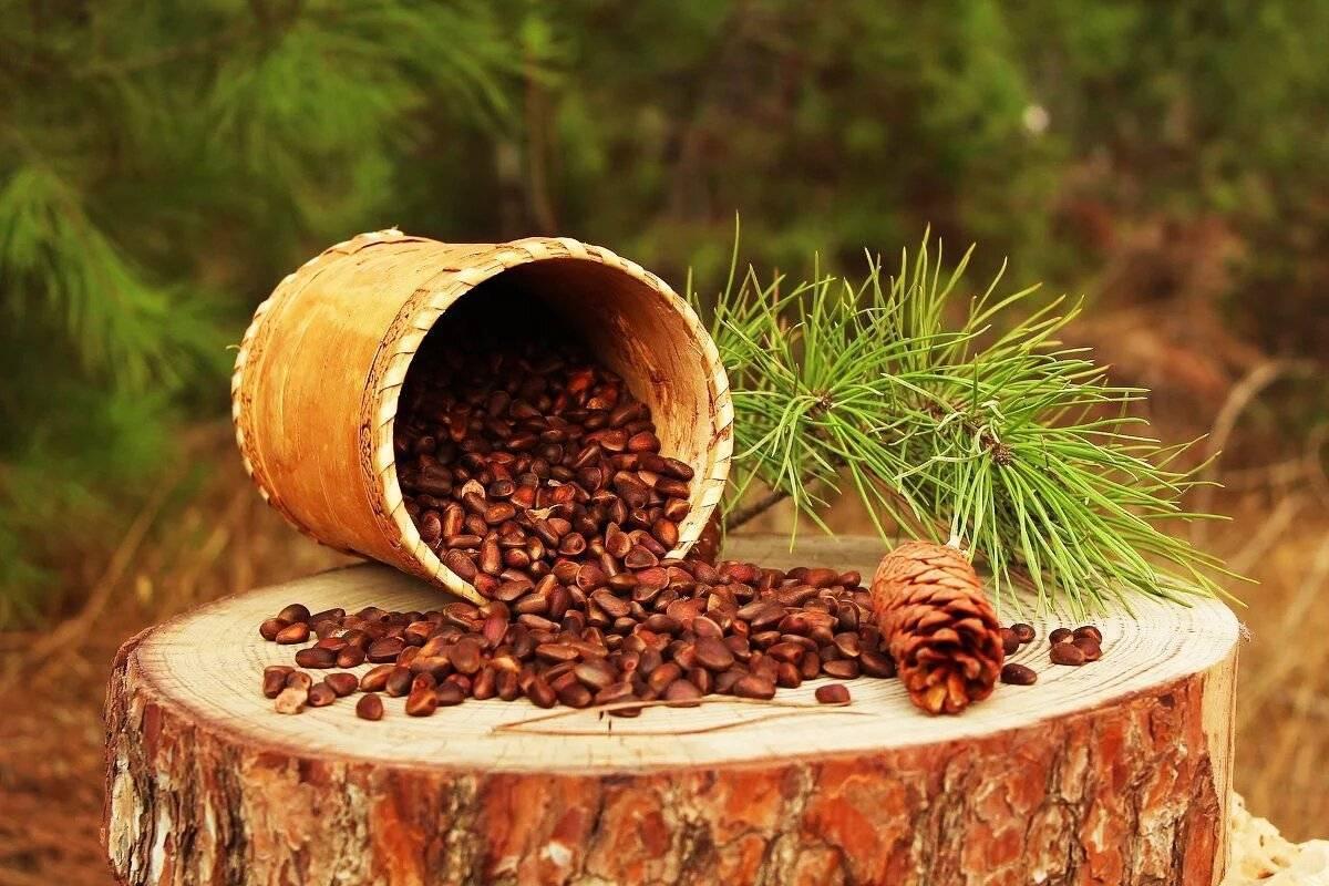Кедровая скорлупа польза и вред — рецепт настойки и лечение