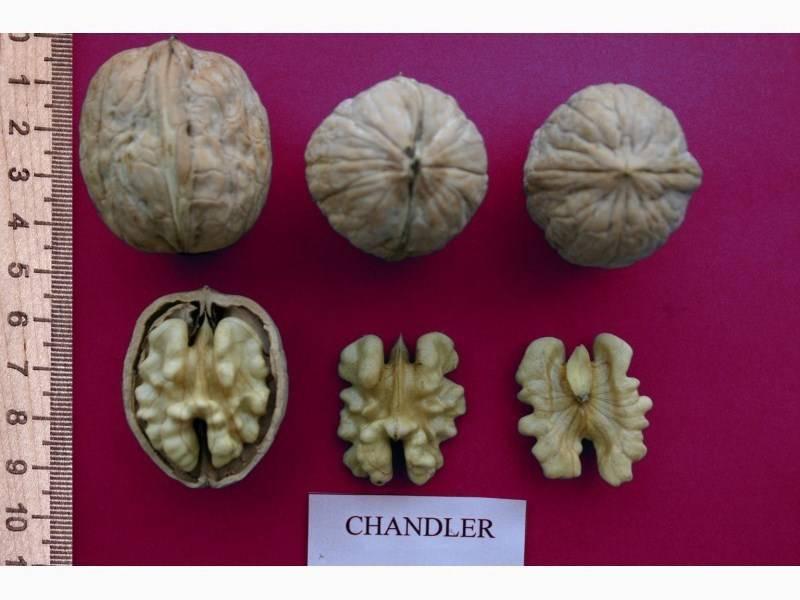 Грецкий орех идеал: описание сорта и характеристики, выращивание и уход с фото