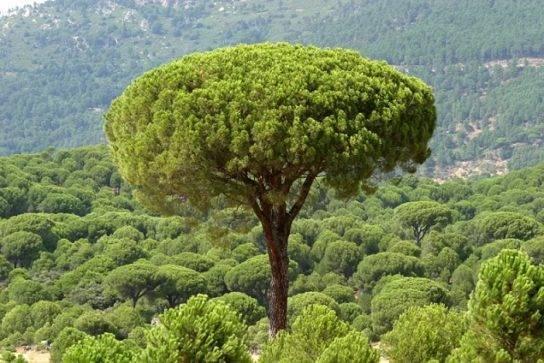 Пиния итальянская сосна: выращивание и уход за сосной