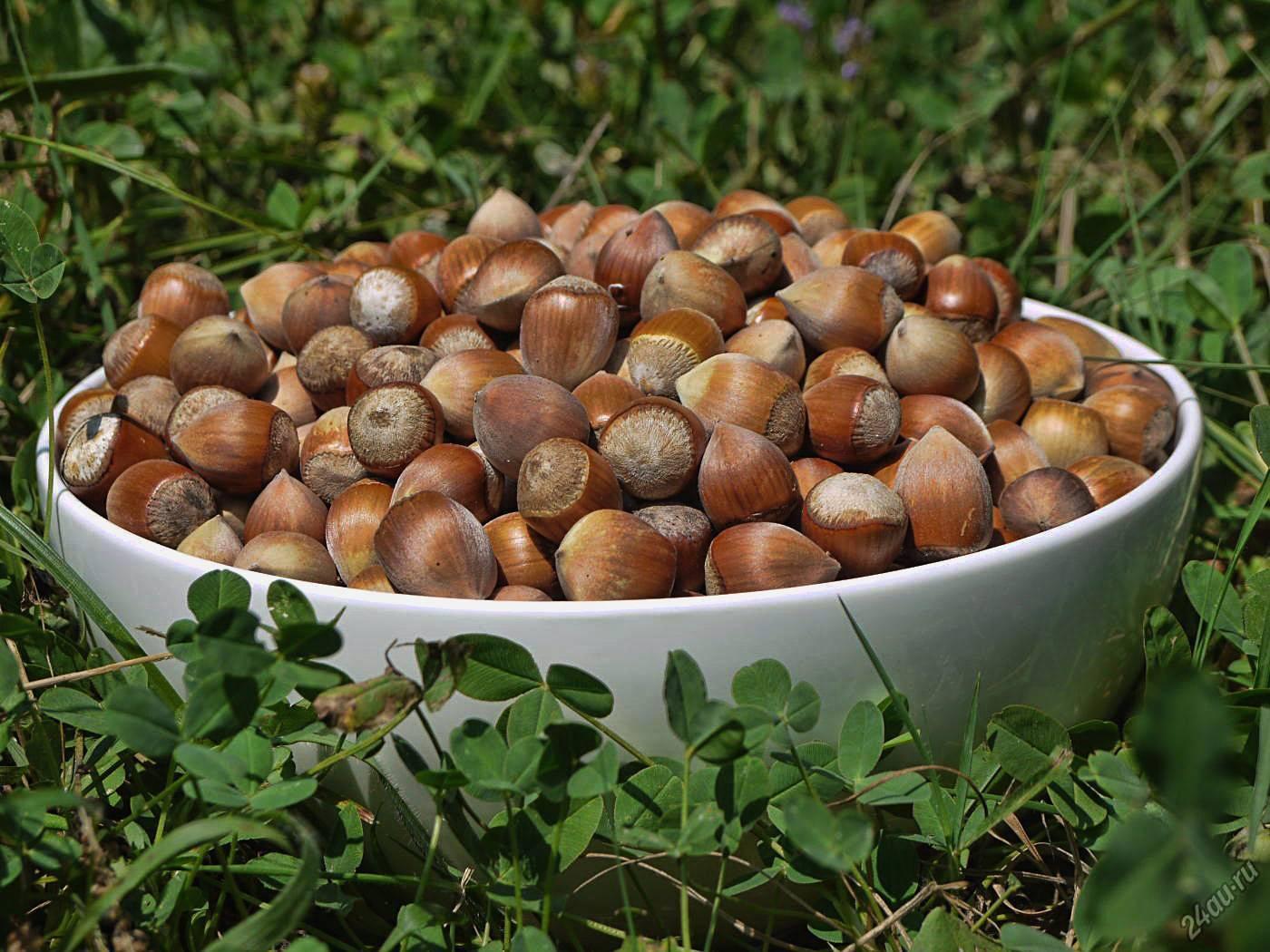 Как самому вырастить фундук: выращивание из ореха в домашних условиях и на даче