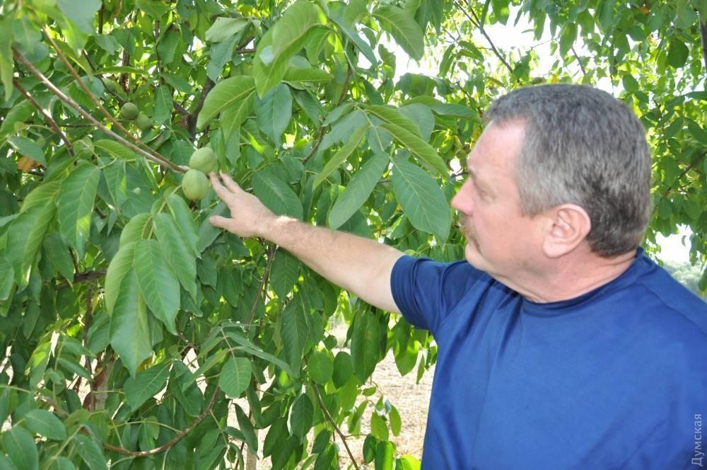 Сорт грецкого ореха ИНТР или как житель Одесской области целую отрасль сельского хозяйства двигает