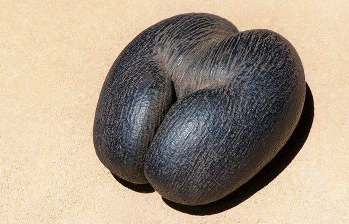 Сейшельский орех: описание и как его едят