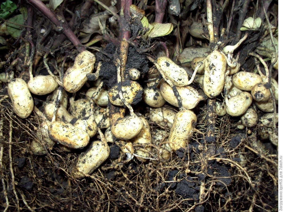 Как вырастить арахис на даче в огороде: особенности посадки и выращивания в средней полосе с фото и видео