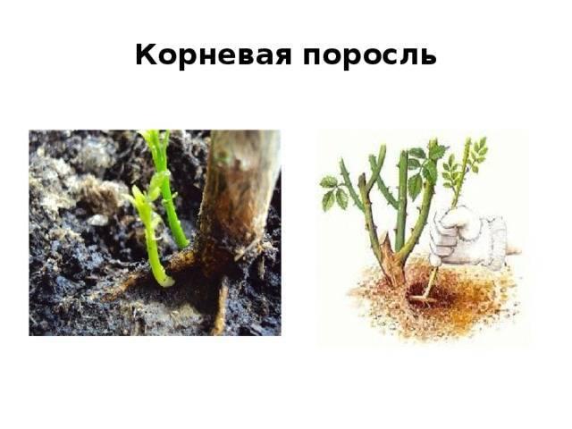 Фундук: методы размножения