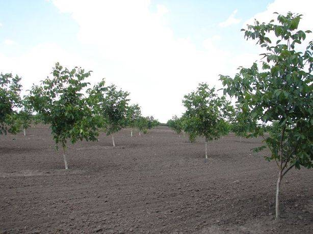 Грецкий орех. интенсивный сад
