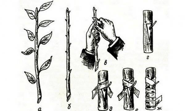 Выращивание миндаля. описание, посадка, уход, формирование. фото — ботаничка.ru