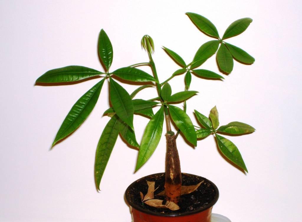 Пахира домашняя - уход, фото цветка, размножение, пересадка комнатного растения