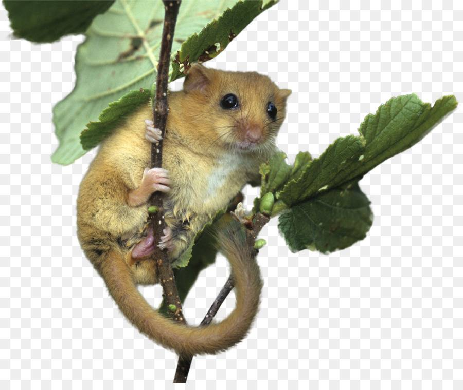 Соня (gliridae или myoxidae): интересные факты, фото, виды