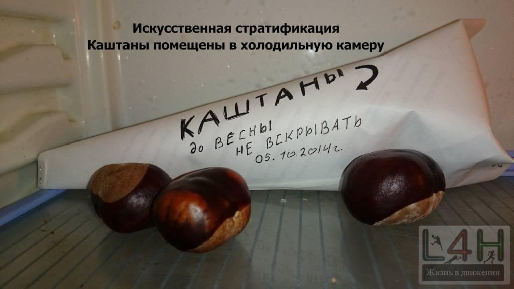 Как правильно прорастить каштан из ореха в домашних условиях?