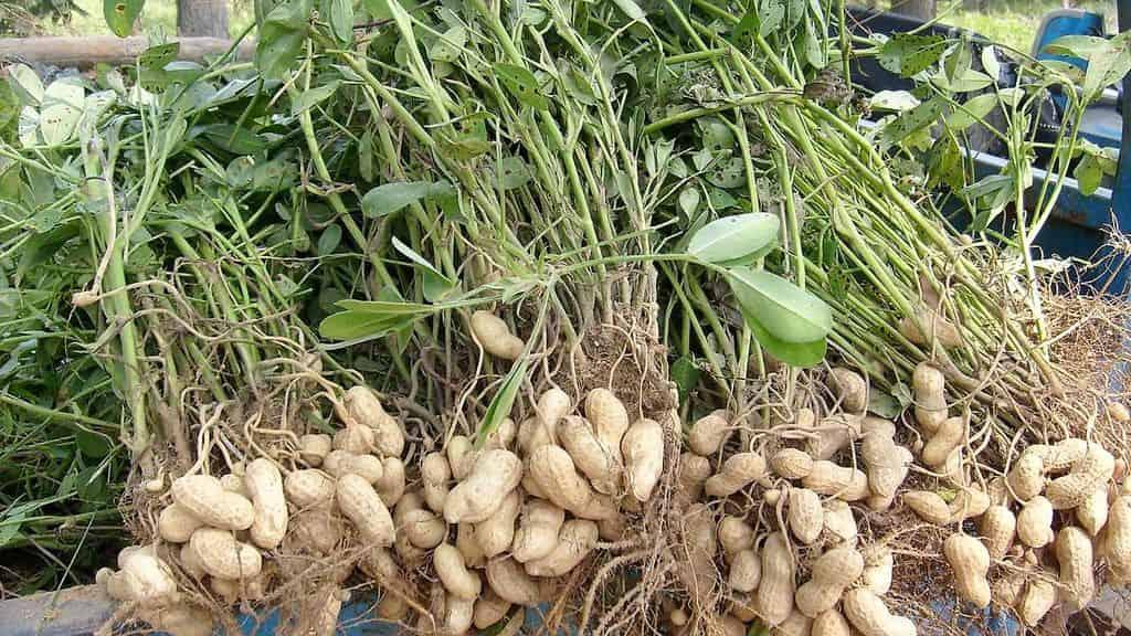 Где и как растет арахис - other