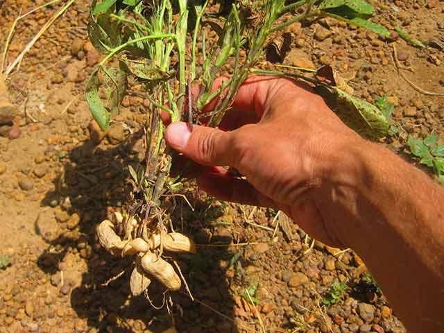 Земляной орех арахис - выращивание, как сажать, уход, сбор урожая, хранение