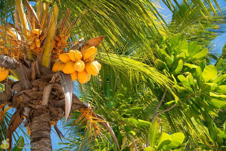 Как вырастить кокосовую пальму дома, особенности ухода за ней