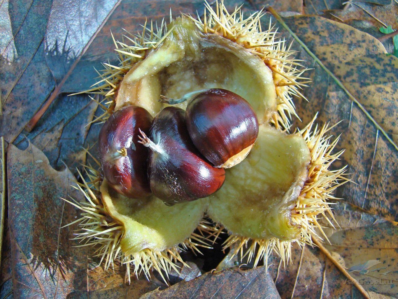 Каштан съедобный (28 фото): как отличить каштан посевной от несъедобных каштанов? саженцы дерева. как цветет каштан благородный? выращивание