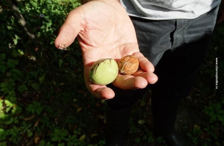 Грецкий орех в подмосковье: уход, сорта, размножение