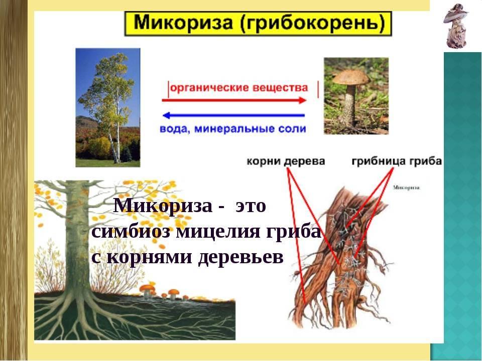 Микориза гриба и корня растений: описание, применение