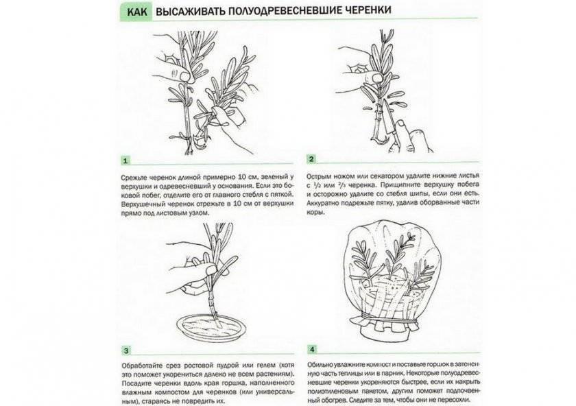 Все о миндальном дереве – как посадить, подкармливать, формировать и размножать