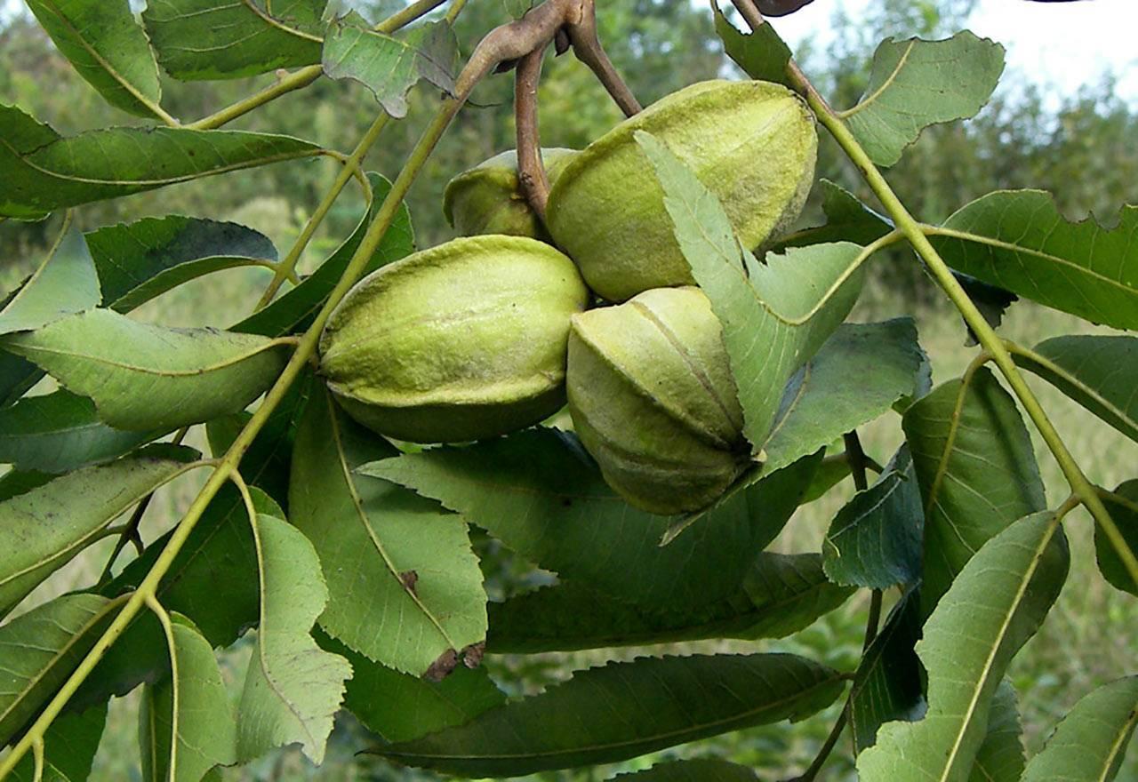 Пекан орех посадка уход и выращивание сортов их болезни и удобрения, размножение и фото