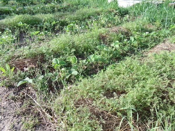 Сидераты: зачем нужны и когда сеять