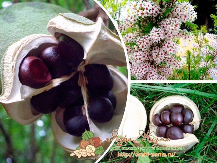 Как вырастить чекалкин орех из семян
