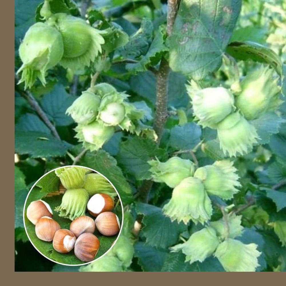 Когда собирать лесной орех: время созревания, способы сбора