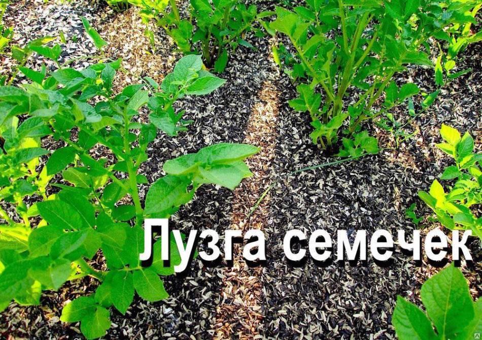 Шелуха от семечек на огороде - польза или вред