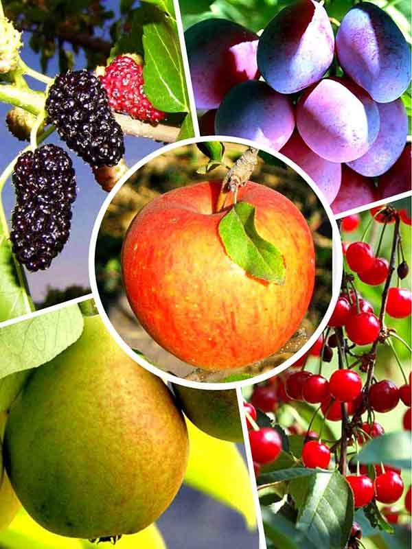 9 самых неприхотливых плодовых культур. список плодово-ягодных деревьев и кустарников не требующих ухода. фото — страница 10 из 10 — ботаничка.ru