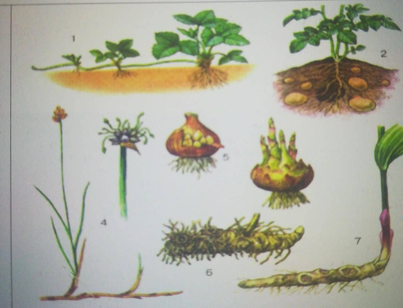 Как размножать комнатные растения вегетативно?
