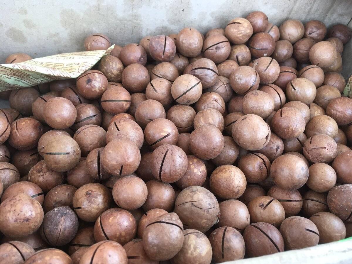 Где растет орех макадамия, чем он полезен? интересные факты и применение продукта