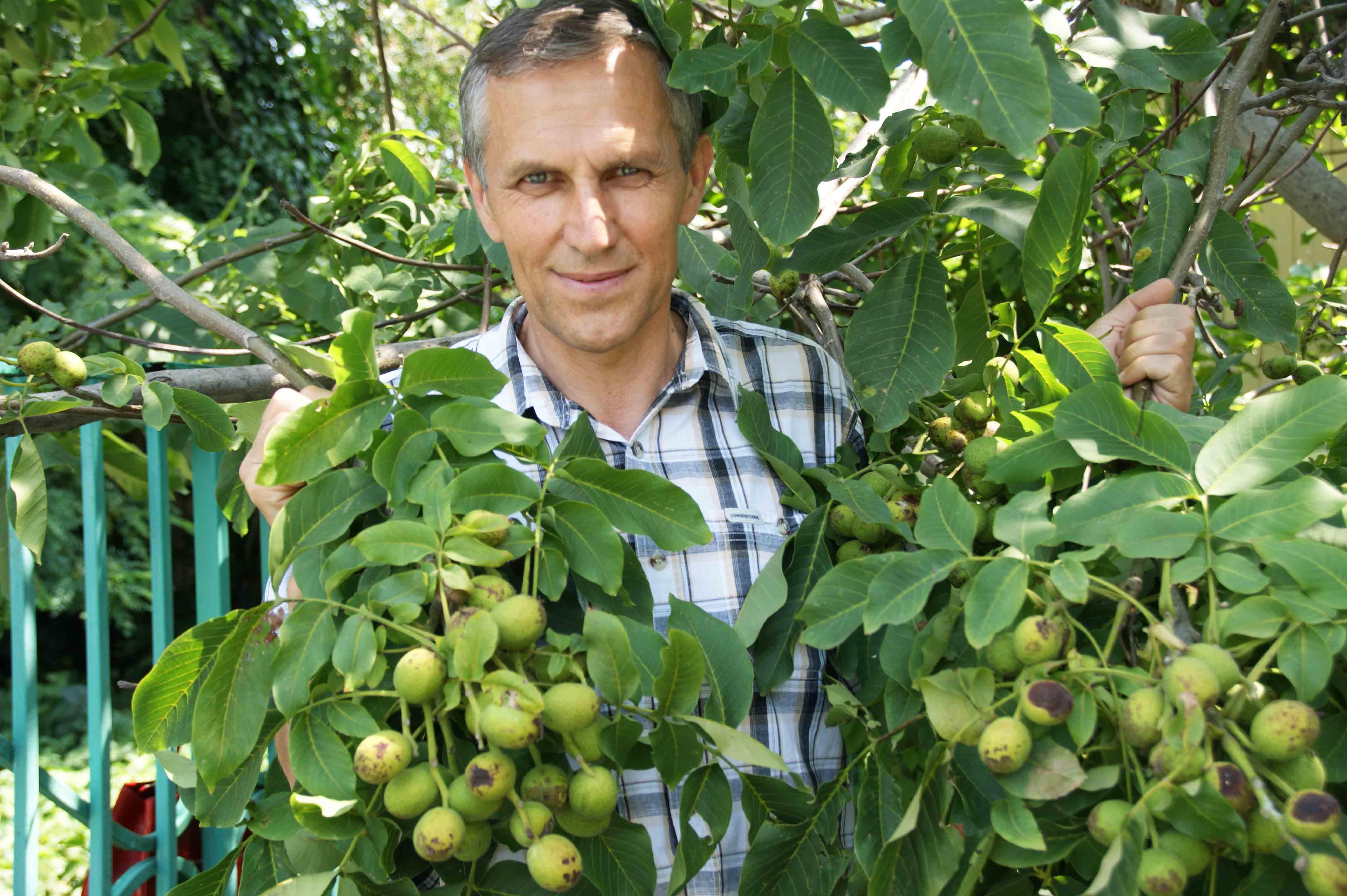 Грецкий орех в подмосковье — выращивание на участке