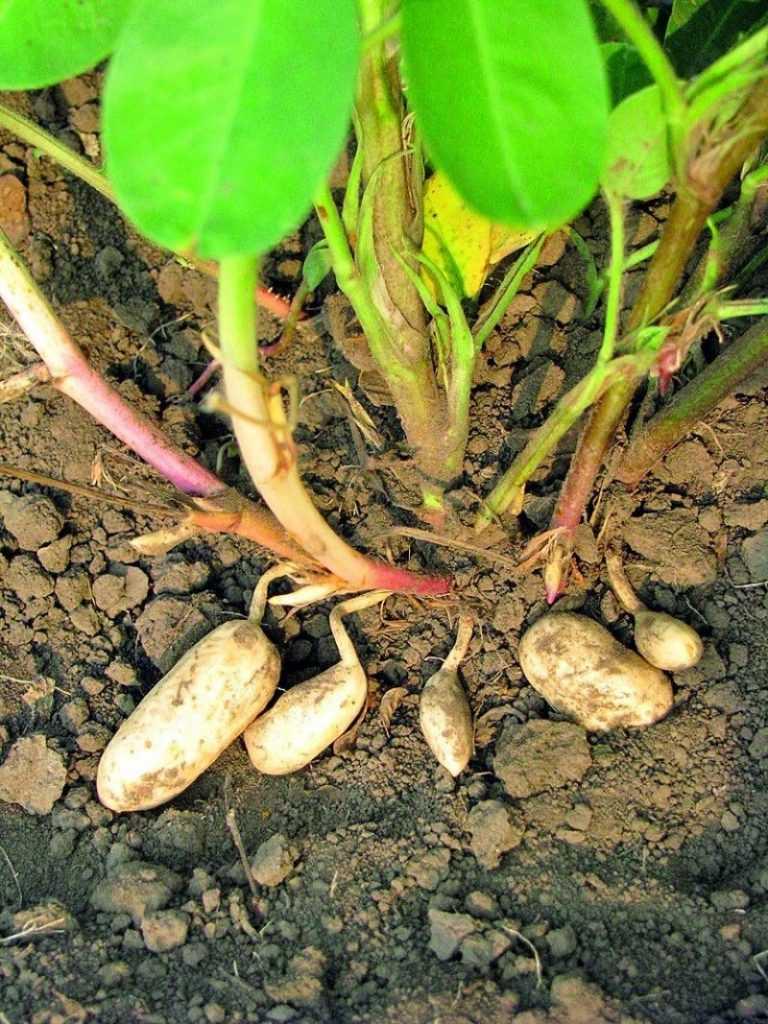 Как я выращиваю арахис с пользой для себя и других растений. совместные посадки, сорта. фото — ботаничка.ru