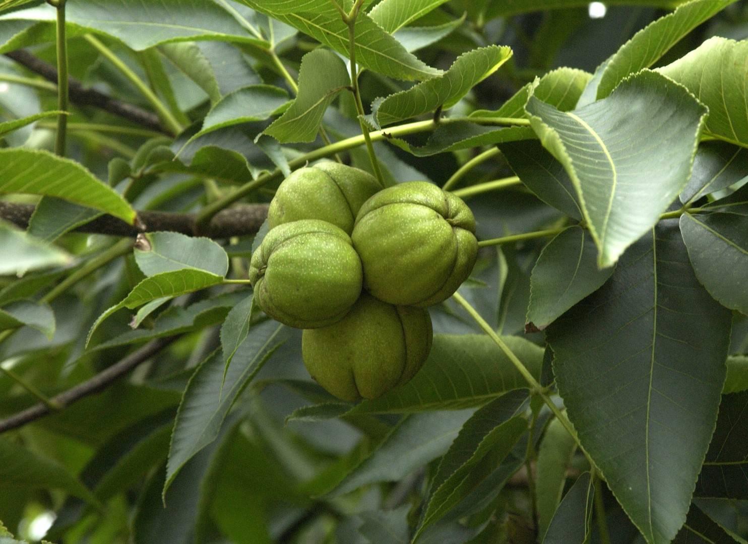 Орех пекан: посадка и уход на участке и дома | огородники