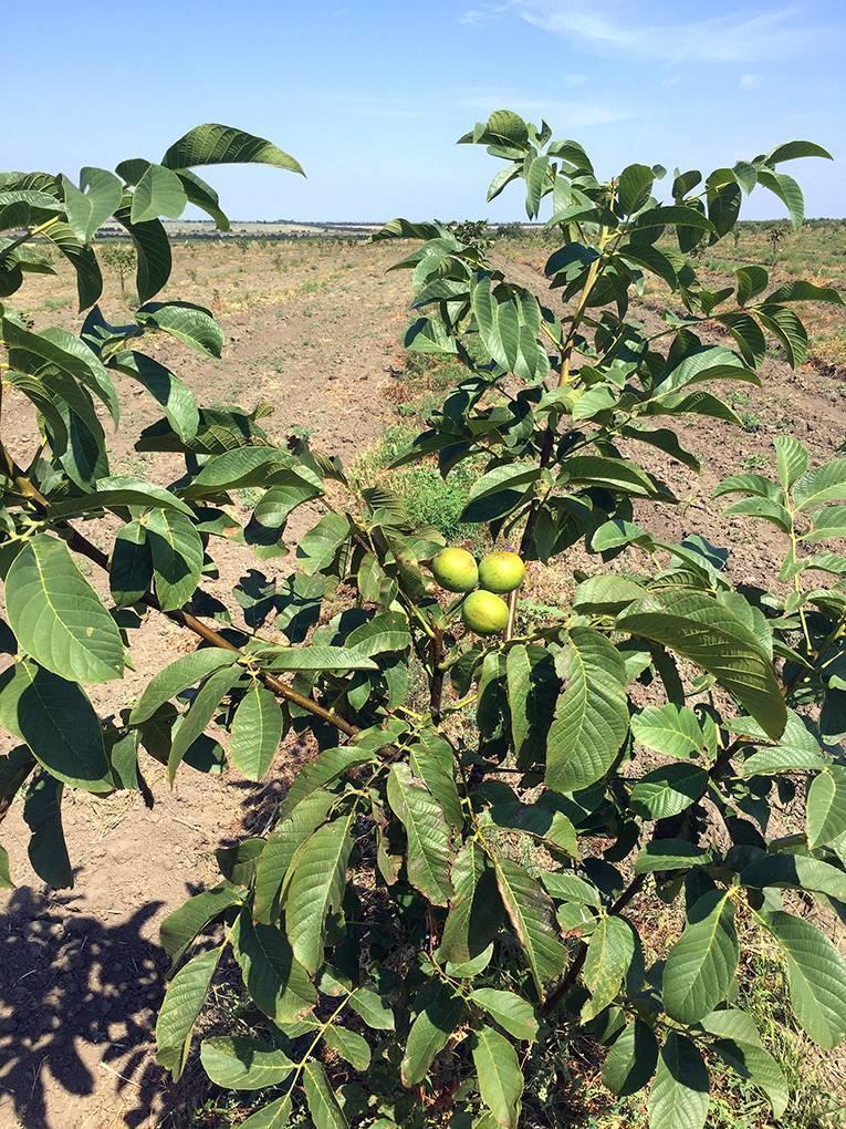 Саженцы грецкого ореха: стратификация, сеянец, саженец - орех эксперт