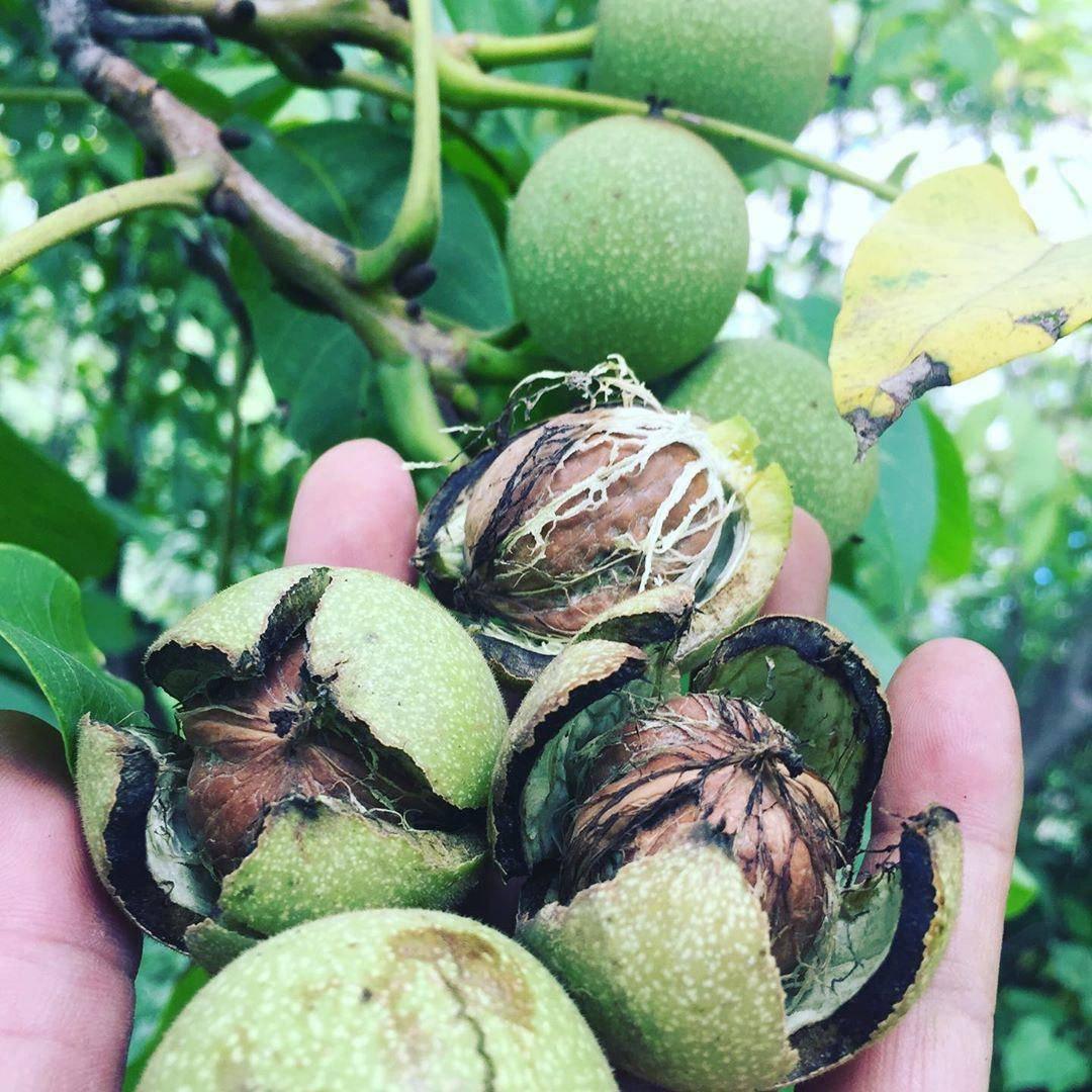 Почему яблоня сбрасывает плоды до их созревания: причины и решение проблемы, что делать