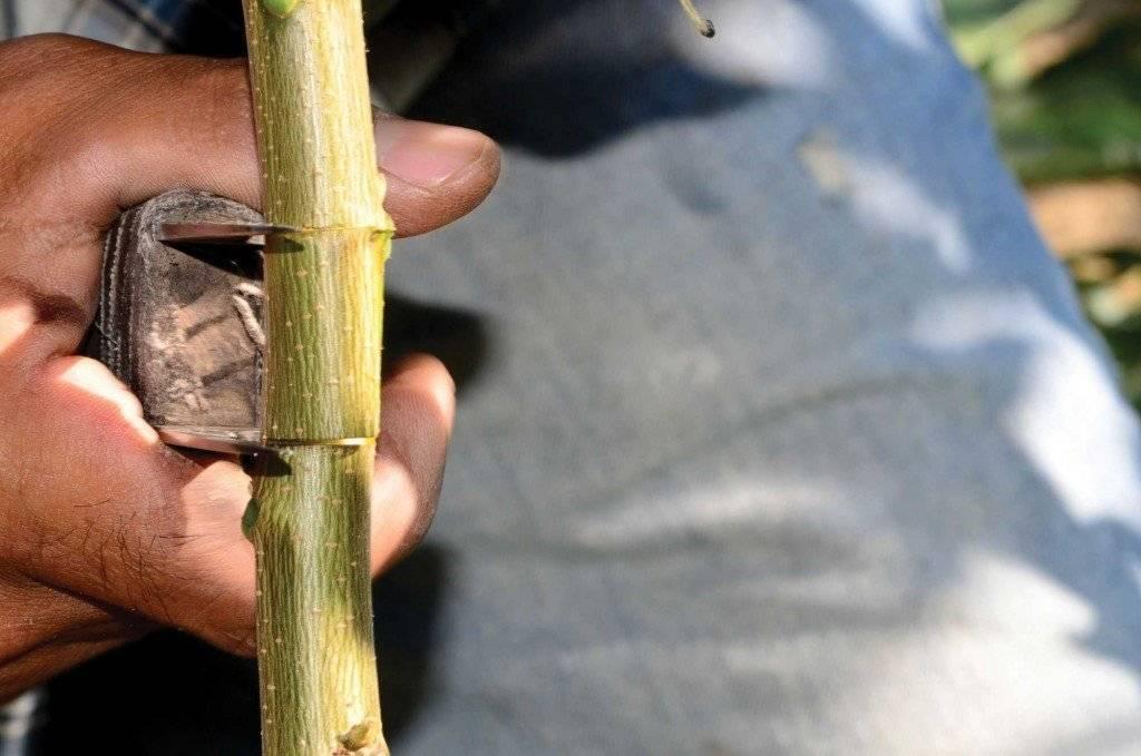 Размножение грецкого ореха черенками из веток: как вырастить дерево из зеленого побега, можно ли в домашних условиях и преимущества, недостатки, виды процедуры