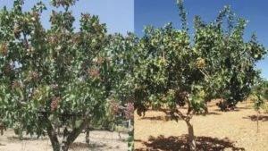 Где и как растет фисташковое дерево — посадка и уход в домашних условиях