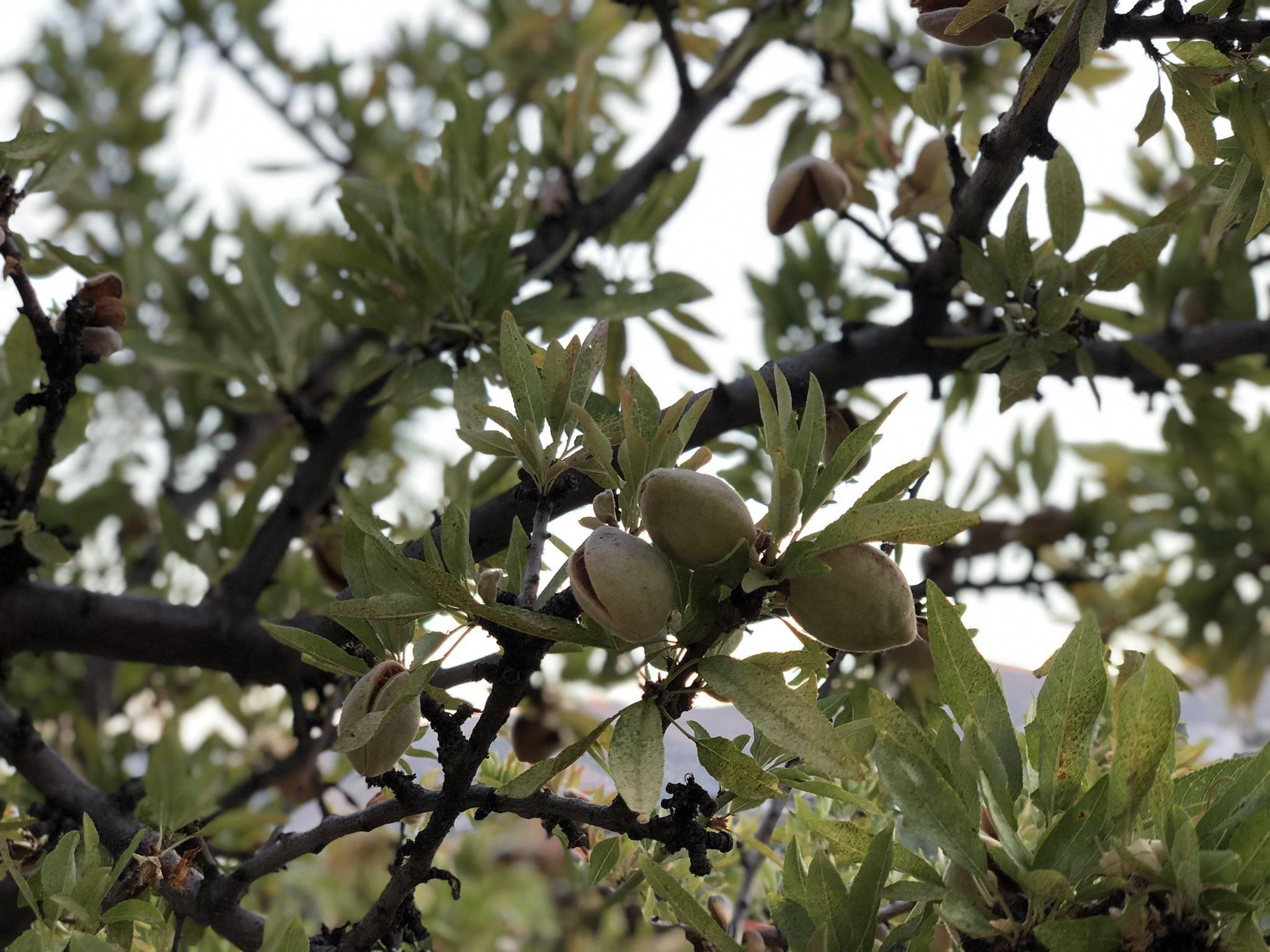 Как растет миндальный орех фото: условия выращивания в саду, сбор урожая и хранение, польза и вред для организма