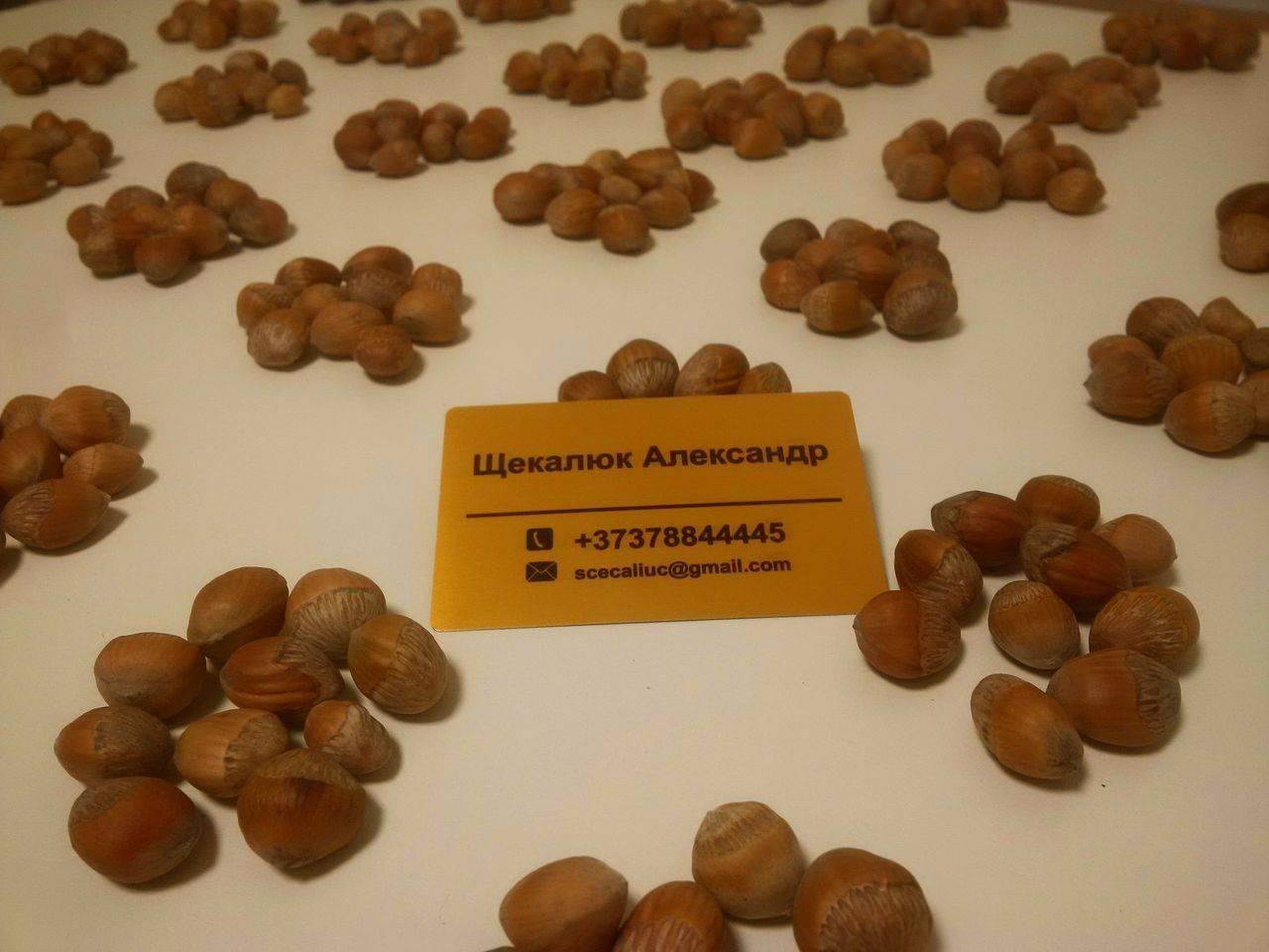 Как привить лещину на медвежий орех. как и на что привить фундук?