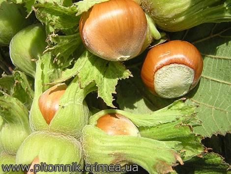 Популярный сорт фундука «кавказ»: описание, плюсы и минусы, выращивание