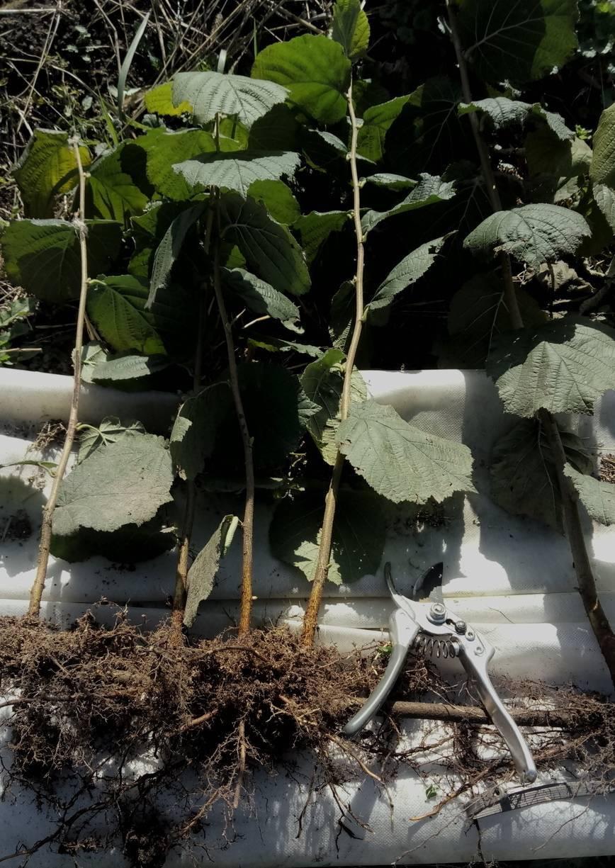 """Как правильно размножить фундук черенками, отводками и семенами? — журнал """"рутвет"""""""
