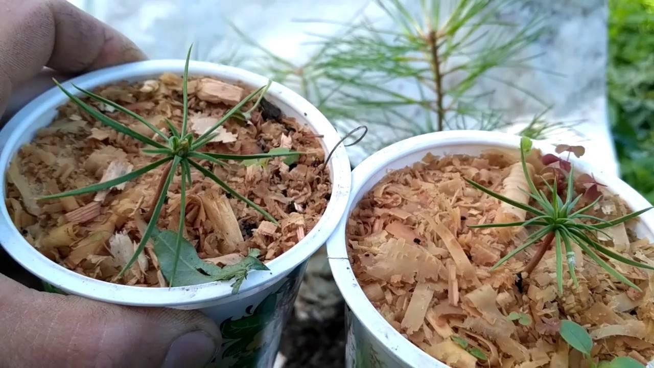Как посадить кедр в домашних условиях