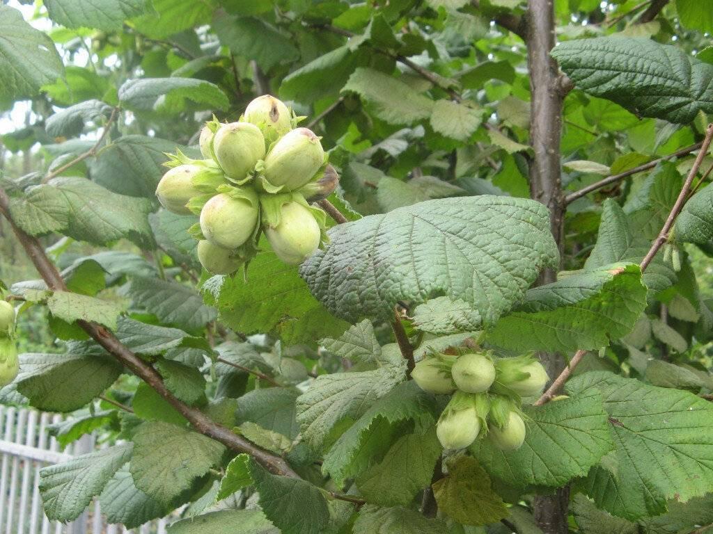 Лещина: описание, посадка и уход, выращивание