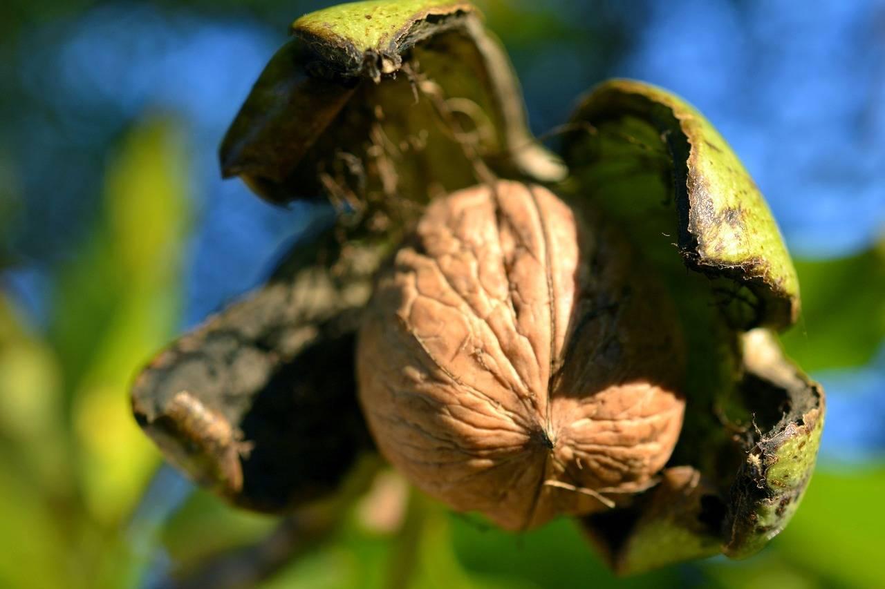 Принципы посадки орехового сада