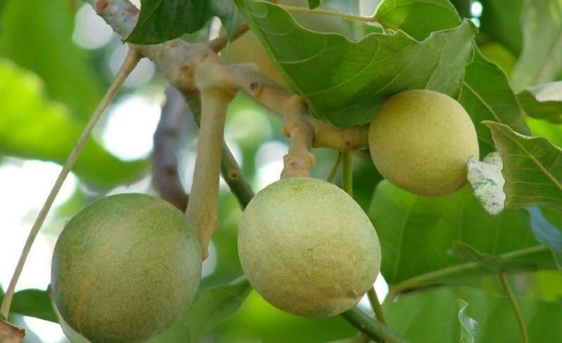 Необычный орех кукуи — чем он полезен для организма и в каких сферах его применяют | юлия коваливская | яндекс дзен